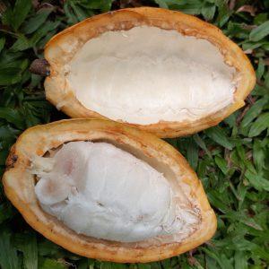 frisch geernteter Kakao