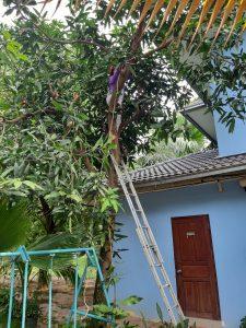 Mangobaum vorher