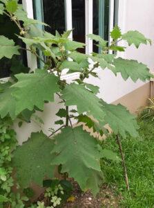 Solanum ferox