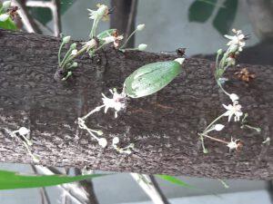 Kakaoblüten