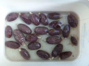 Keimende Kakaobohnen